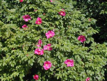 kartoffelrose auch apfelrose oder sylter rose rosa rugosa g nstig in unserem online shop kaufen. Black Bedroom Furniture Sets. Home Design Ideas