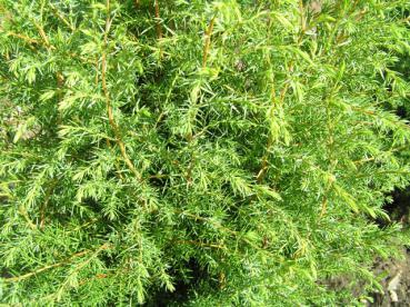 heidewacholder juniperus communis hibernica im pflanzenhandel online kaufen. Black Bedroom Furniture Sets. Home Design Ideas