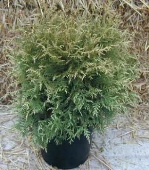 wei er lebensbaum thuja occidentalis alba in unserem online shop g nstig bestellen. Black Bedroom Furniture Sets. Home Design Ideas