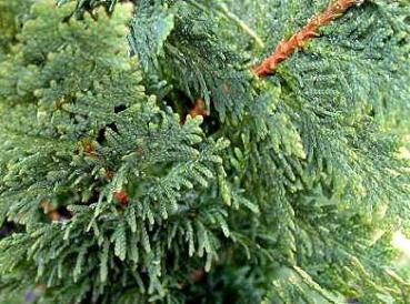 spiralen lebensbaum thuja occidentalis spiralis im pflanzenhandel online kaufen. Black Bedroom Furniture Sets. Home Design Ideas