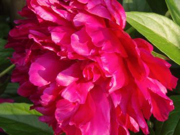 pfingstrose karl rosenfield paeonia lactiflora karl rosenfield in unserem online shop g nstig. Black Bedroom Furniture Sets. Home Design Ideas