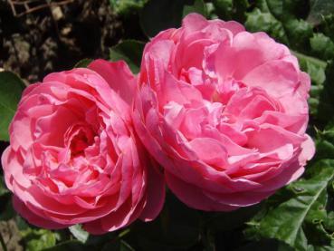 historische rose leonardo da vinci direkt vom pflanzenversand der markenbaumschule bestellen. Black Bedroom Furniture Sets. Home Design Ideas