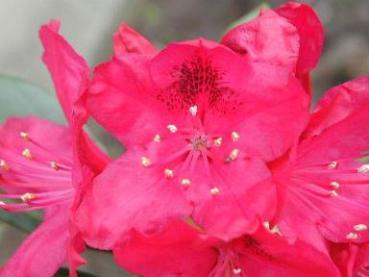 alpenrose nova zembla rhododendron hybr nova zembla. Black Bedroom Furniture Sets. Home Design Ideas