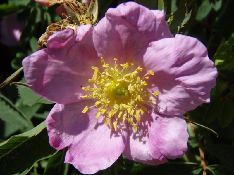 Rosa blanda - Eschenbl  228 ttrige RoseRosa Blanda