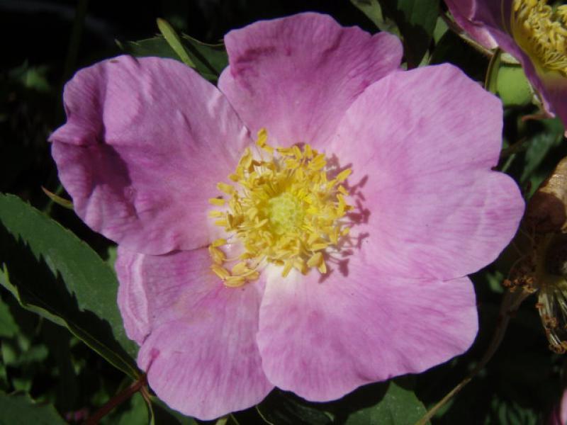 Rosa blandaRosa Blanda
