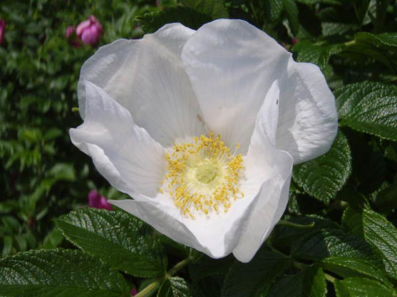 wei bl hende kartoffelrose rosa rugosa alba im pflanzenhandel online kaufen. Black Bedroom Furniture Sets. Home Design Ideas