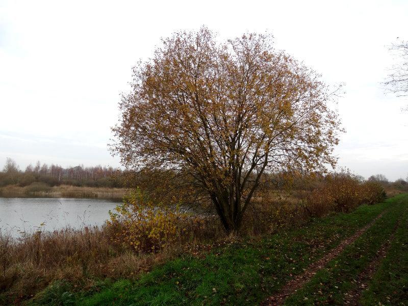 weidenbaum pflanzen wurzeln