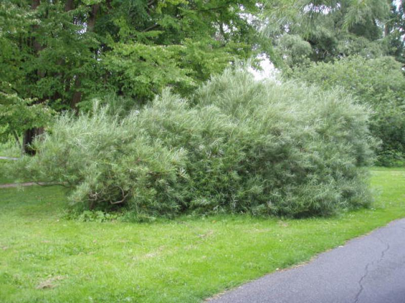 Rosmarinweide Salix Rosmarinifolia Direkt Vom Pflanzenversand Der