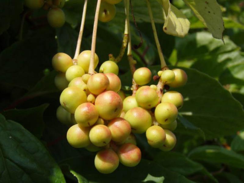 chin spaltk lbchen f nf geschmacks frucht schisandra chinensis im pflanzenhandel online kaufen. Black Bedroom Furniture Sets. Home Design Ideas