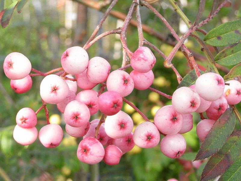 rosa frucht eberesche sorbus vilmorinii g nstig in. Black Bedroom Furniture Sets. Home Design Ideas