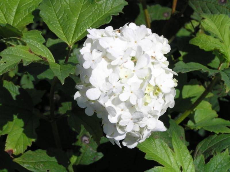 Echter Schneeball Viburnum Opulus Roseum Im Pflanzenhandel Eggert