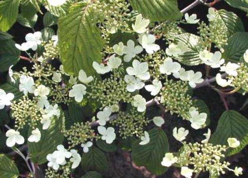 japanischer schneeball mariesii viburnum plicatum mariesii direkt vom pflanzenversand der. Black Bedroom Furniture Sets. Home Design Ideas