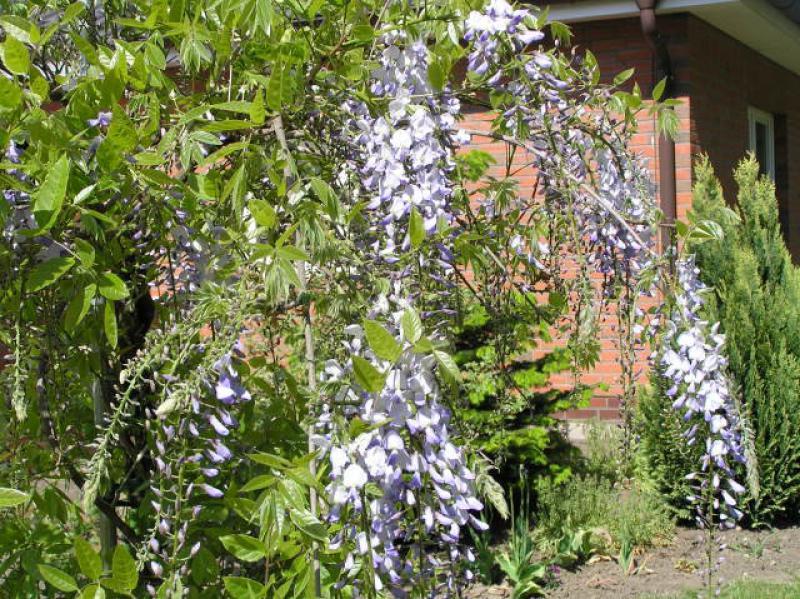 blauregen glyzinie wisteria sinensis direkt von der baumschule bestellen. Black Bedroom Furniture Sets. Home Design Ideas