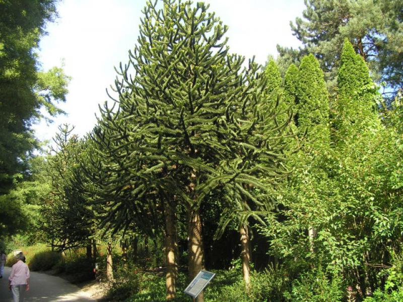 Affenschwanzbaum araukarie araucaria araucana direkt von for Pflanzen bestellen hamburg