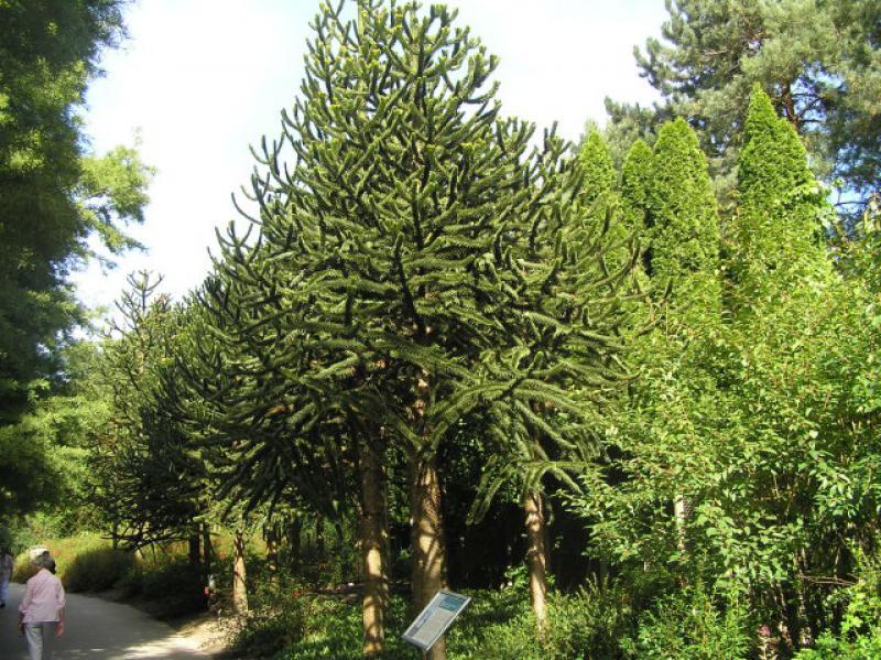 Affenschwanzbaum araukarie araucaria araucana direkt von for Pflanzen bestellen berlin