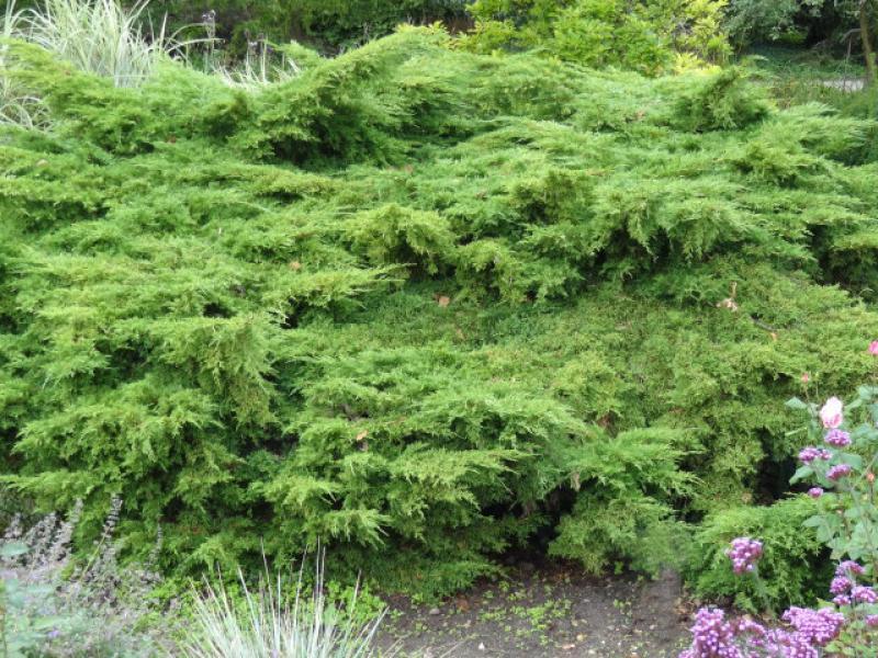 pfitzer wacholder juniperus media pfitzeriana gibt es. Black Bedroom Furniture Sets. Home Design Ideas