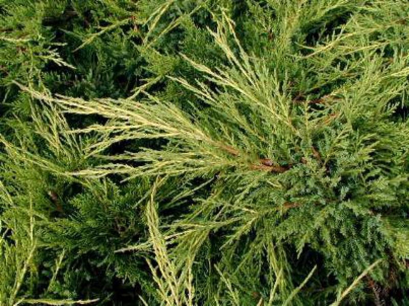 pin deutsch juniperus chinensis stricta chinesischer. Black Bedroom Furniture Sets. Home Design Ideas