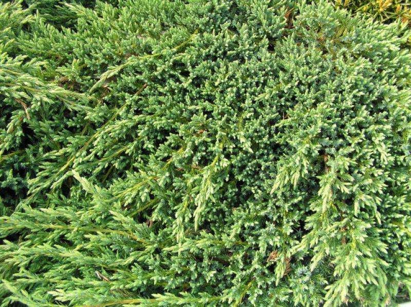 Juniperus squamata ( Blue Carpet Juniper )