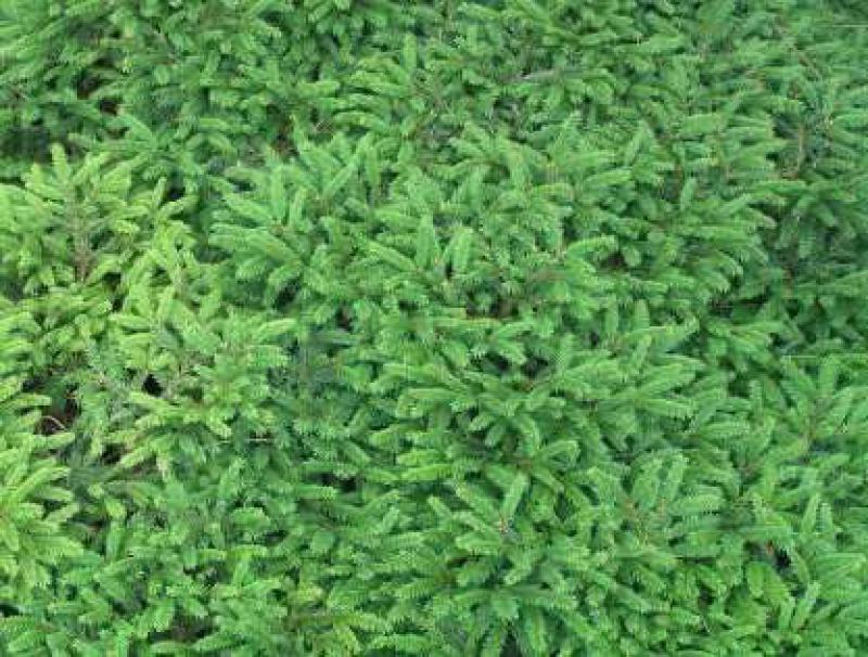 Zwergfichte Pumila Nigra Picea Abies Pumila Nigra Im Pflanzenhandel