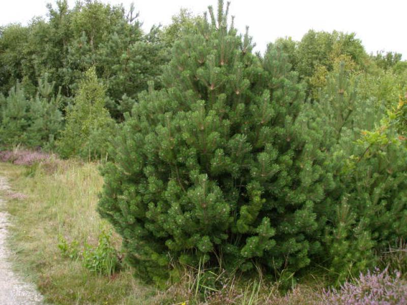 Berg Kiefer Pinus Mugo Direkt Von Der Baumschule Bestellen