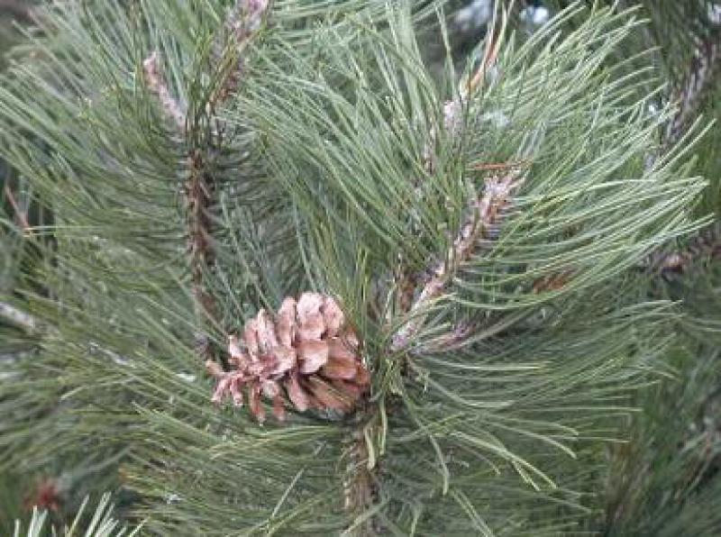 Schwarzkiefer pinus nigra nigra direkt bei der baumschule - Kiefer baum kaufen ...