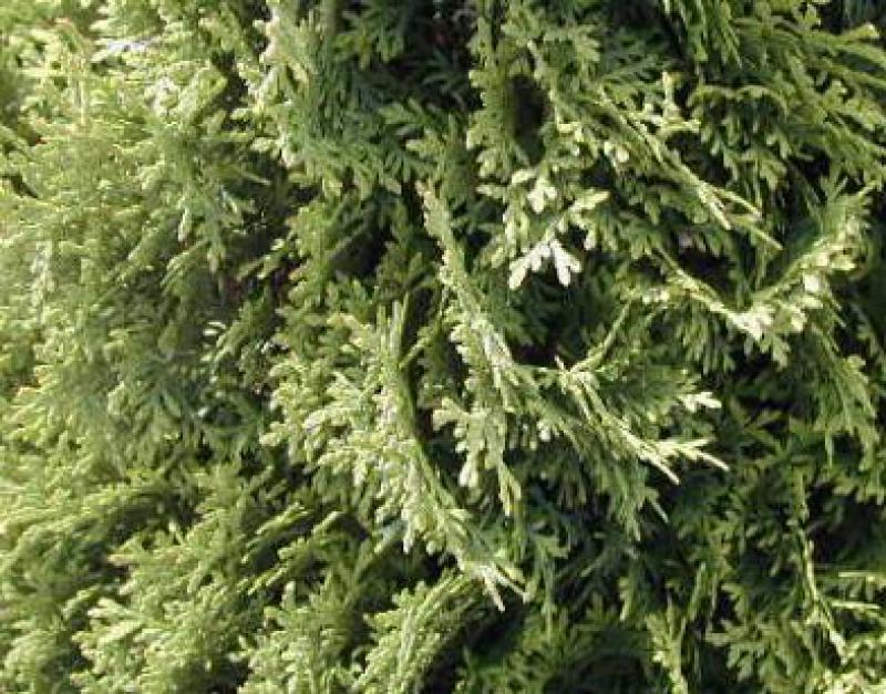 s ulen lebensbaum columna thuja occidentalis columna gibt es hier g nstig in unserem online shop. Black Bedroom Furniture Sets. Home Design Ideas