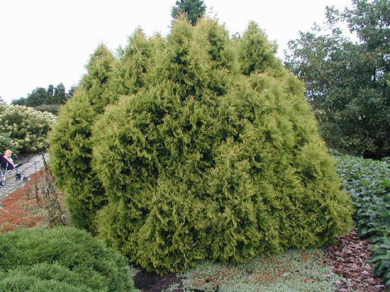 gold lebensbaum rheingold thuja occidentalis rheingold direkt vom pflanzenversand der. Black Bedroom Furniture Sets. Home Design Ideas