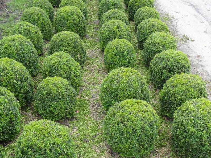 buchsbaum buxus sempervirens arborescens direkt von der. Black Bedroom Furniture Sets. Home Design Ideas