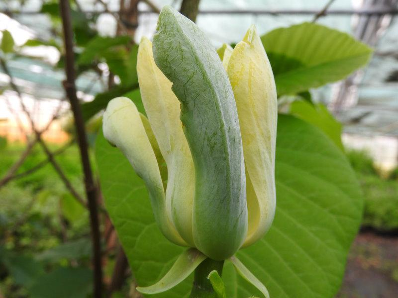 gurken magnolie magnolia acuminata direkt von der. Black Bedroom Furniture Sets. Home Design Ideas