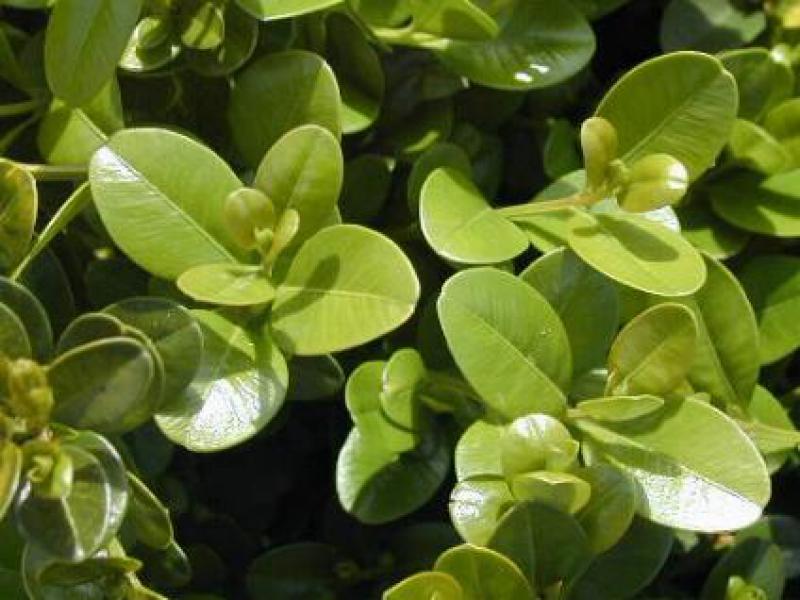 buchsbaum faulkner buxus microphylla faulkner direkt von. Black Bedroom Furniture Sets. Home Design Ideas