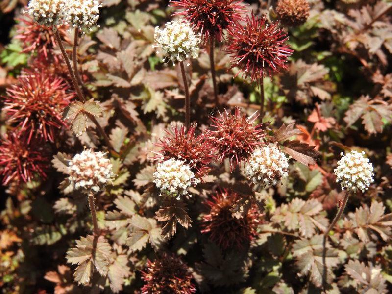 Acaena Microphylla Kupferteppich Stachelnüßchen Kupferteppich