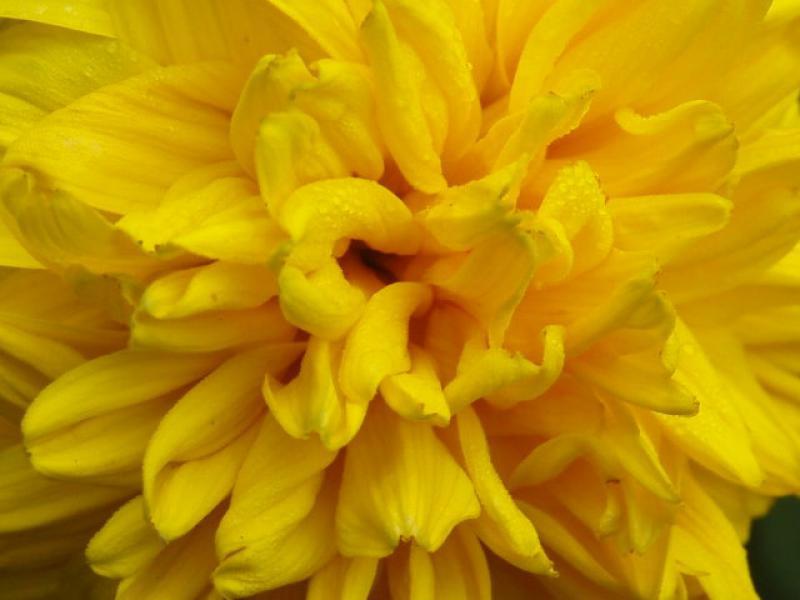 Sonnenblumenstauden