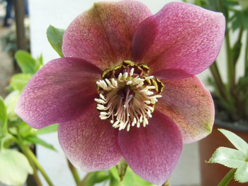 nieswurz fr hlings nieswurz helleborus orientalis rot bl hend im pflanzenhandel online kaufen. Black Bedroom Furniture Sets. Home Design Ideas