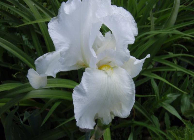 bartschwertlilie wei iris barbata elatior wei im. Black Bedroom Furniture Sets. Home Design Ideas
