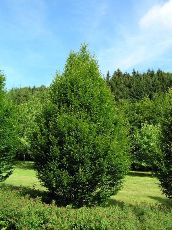 Saulen Hainbuche Carpinus Betulus Fastigiata In Unserem Online Shop
