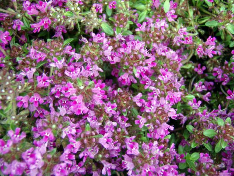 Gallery For > Thymus Serpyllum Coccineus