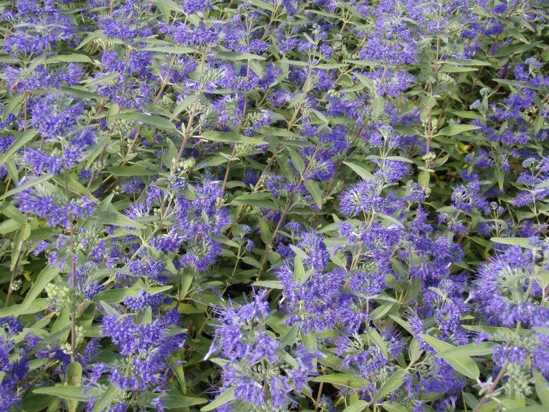 bartblume heavenly blue caryopteris clandonensis heavenly. Black Bedroom Furniture Sets. Home Design Ideas