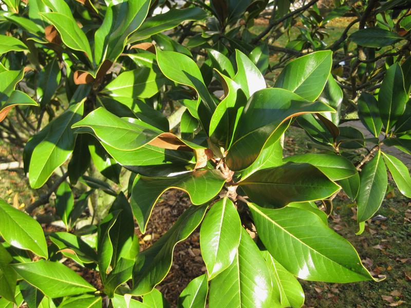 gro bl tige magnolie immergr ne magnolie magnolia grandiflora im online shop g nstig bestellen. Black Bedroom Furniture Sets. Home Design Ideas