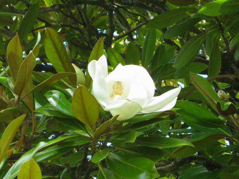 magnolia grandiflora pflege pflanzen f r nassen boden. Black Bedroom Furniture Sets. Home Design Ideas