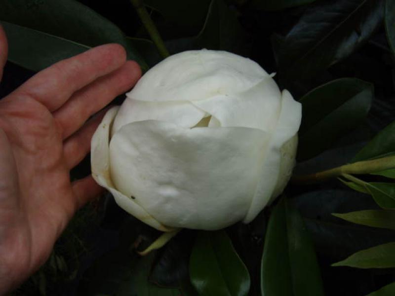 gro bl tige magnolie immergr ne magnolie magnolia. Black Bedroom Furniture Sets. Home Design Ideas