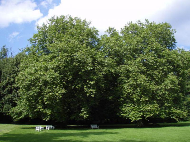 platanus acerifolia kaufen
