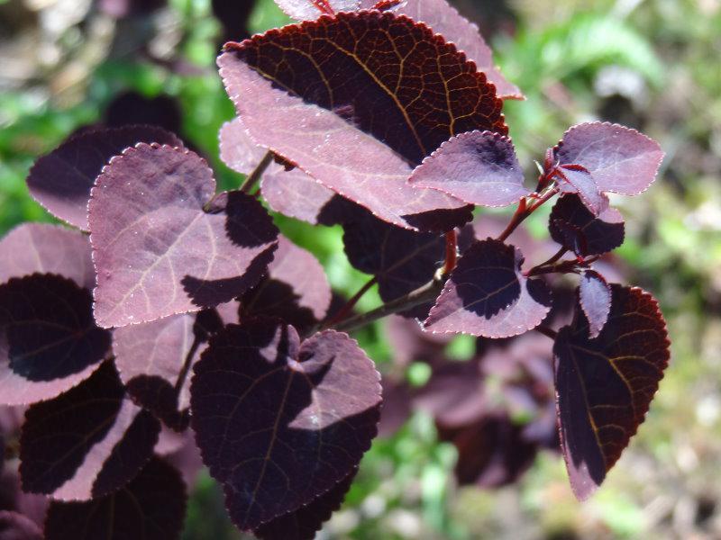 Lebkuchenbaum rotfuchs cercidiphyllum japonicum rotfuchs - Lebkuchenbaum kaufen ...