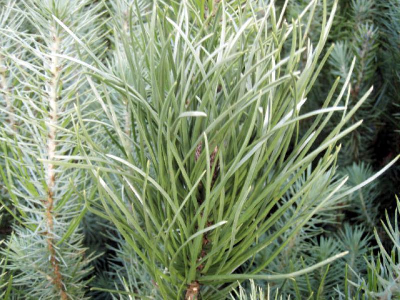 pinie mittelmeer kiefer pinus pinea im pflanzenhandel online kaufen. Black Bedroom Furniture Sets. Home Design Ideas