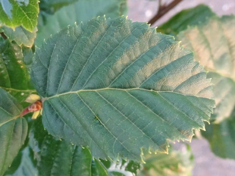 baumschule eggert bl tenstr ucher baumschulen heckenpflanzen carpinus betulus lukas. Black Bedroom Furniture Sets. Home Design Ideas