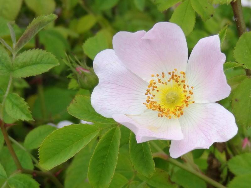 weichbl ttrige rose rosa mollis im pflanzenhandel online. Black Bedroom Furniture Sets. Home Design Ideas