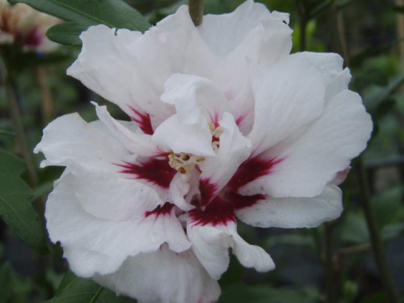hibiskus lady stanley hibiscus lady stanley direkt von. Black Bedroom Furniture Sets. Home Design Ideas