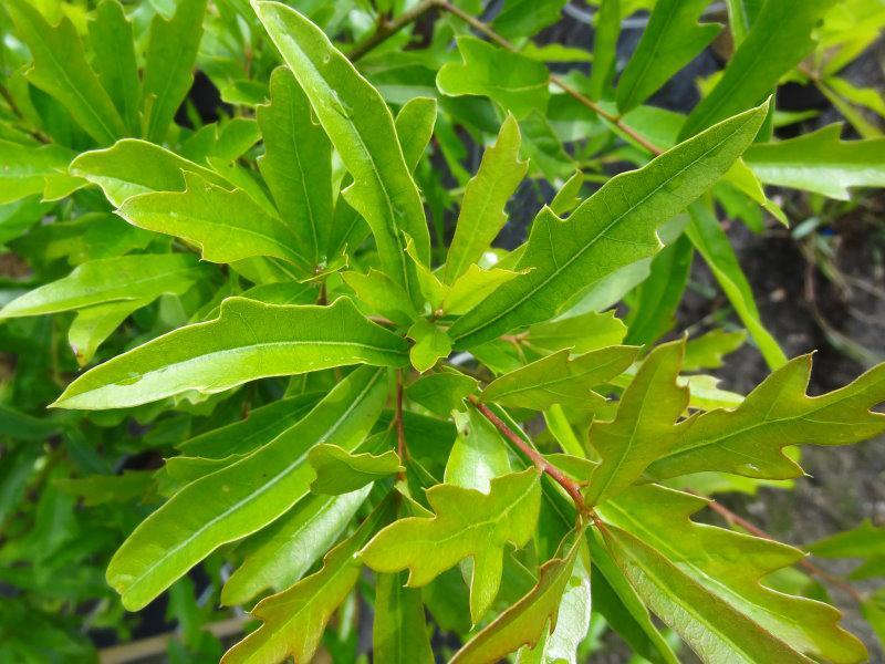 Quercus nigra - WassereicheQuercus Nigra
