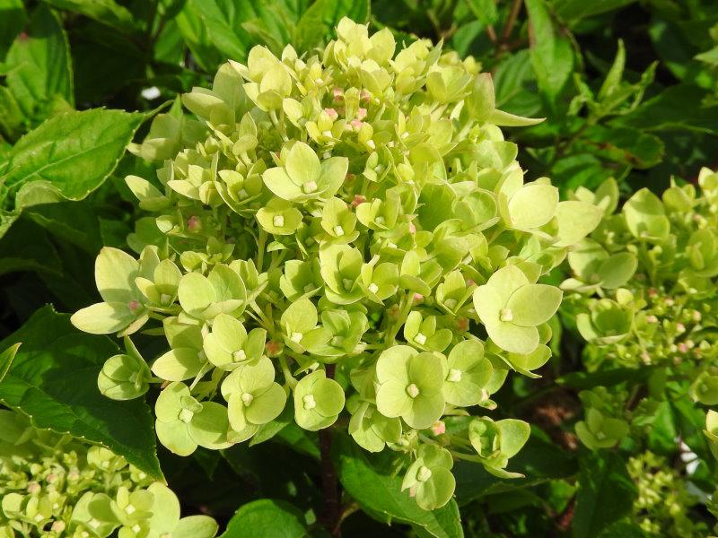 rispenhortensie little lime hydrangea paniculata little lime direkt von der baumschule bestellen. Black Bedroom Furniture Sets. Home Design Ideas