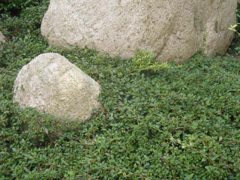 Design#5001676: Bodendecker pflanzen schnellwachsend ? blessfest.info. Bodendecker Pflanzen Schnellwachsend