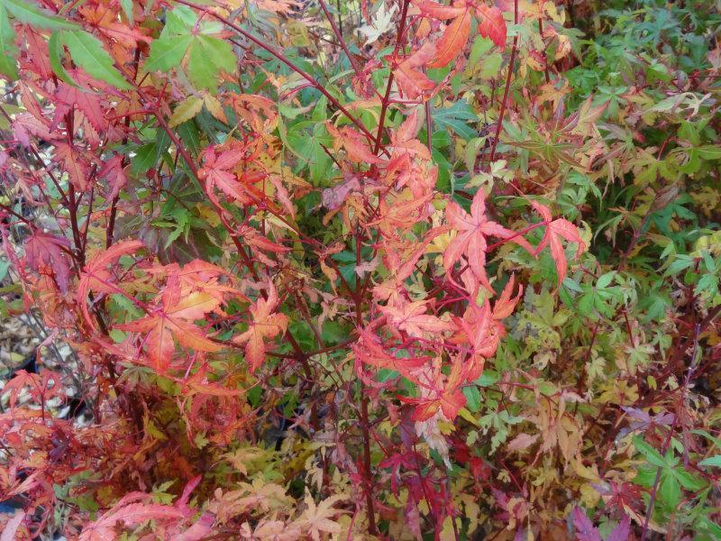 ... , Heckenpflanzen - Acer palmatum - Fächerblattahorn Acer palmatum